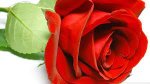 beautiful rose ultra hd desktop