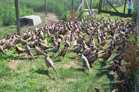 Pheasant Cage Designs Security On A Pheasant Farm Is Thorough