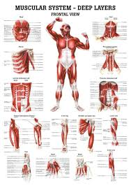 Anatomy Chart Muscular System The Muscular System Deep Layers Front Laminated Anatomy Chart