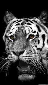 white tiger iphone 5 wallpaper. Contemporary White Inside White Tiger Iphone 5 Wallpaper