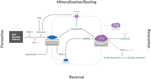 Bone Metabolism The Cycle Of Bone Growth And Resorption Alpco