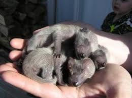 Raccoon Classification Chart Raccoon Care