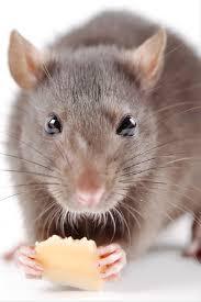 island rats ile ilgili görsel sonucu
