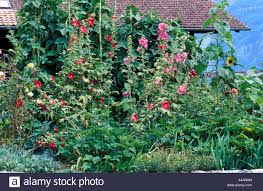 Small Kitchen Garden Small Kitchen Garden With Althaea Rose And Sunflower Stock Photo