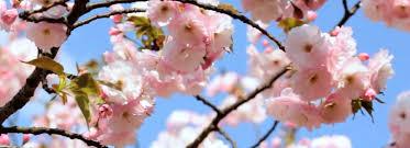 Bunga Sakura 5 Tempat Melihat Bunga Sakura Di Indonesia Gak Kalah Cantik
