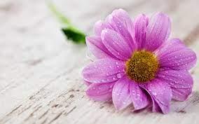 Pink Flower Water Drops Hd Wallpaper ...