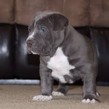 pitbull puppies. Wonderful Pitbull XL PITBULL PUPPIES FOR SALE  CHAMPAGNE XXL LILAC  For Pitbull Puppies