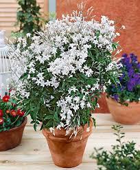 English Ivy Hedera Evergreen Hardy Wall Climbing Hanging Baskets Wall Climbing Plants In Pots