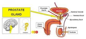 Dr Hamer Disease Chart Pdf Male Sexual Organs
