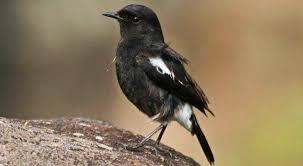 Suara pikat burung decu betina gacor cocok pancing. Download Suara Burung Decu Mini Ngerol Gacor Mp3 Harga