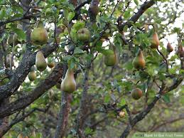 20 Best Plants Of Jamaica  Fruit Trees Images On Pinterest Fruiting Trees