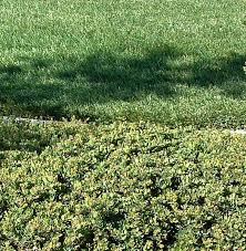 arctostaphylos emerald carpet manzanita groundcover that works well as a buffer between traditional