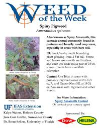 Spiny Pigweed Weed Of The Week Spiny Pigweed Uf Ifas Extension Suwannee