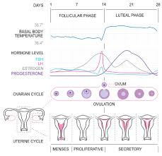 31 Day Menstrual Cycle Chart Luteal Phase Calculator Babymed Com