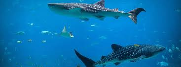 swim whale sharks experience aquarium presentations