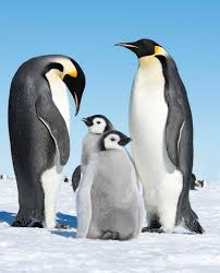 baby emperor penguins.  Penguins Emperor Penguins And Babies Intended Baby Penguins