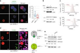 Naf To Gs Equivalent Chart Activation Of Nix Mediated Mitophagy By An Interferon
