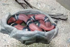 milk snake size strong scarlet milksnake strong lampropeltis triangulum