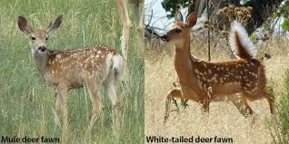 Fawn Age Chart A Quick Guide To Differentiate Mule Deer From White Tailed