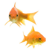 Fantail Goldfish Growth Chart 33 Different Types Of Goldfish Breeds Identification Guide