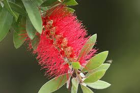 Image result for macarthur bottlebrush tree