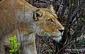 lioness hunting. Beautiful Lioness Throughout Lioness Hunting 4