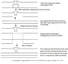 dna replication essay dna structure and replication essay