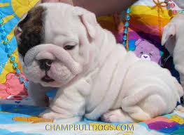 white baby english bulldog. Interesting Baby English Bulldog Puppies For Sale To White Baby Bulldog L