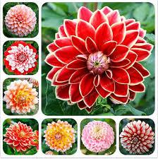 <b>20 Pcs Bag</b> Rare Mixed Colors <b>Dahlia</b> Seeds Beautiful Perennial ...