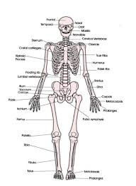 human bones chart bones diagram human body anatomy human body        human bones chart tag human bones diagram labeled human anatomy diagram