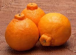 Mandarin Tangerines Shiranui Tangerines Aka Dekopon Or Sumo Mandarin Ask