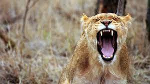 Wallpaper 4k Lioness Predator 4k Wallpaper