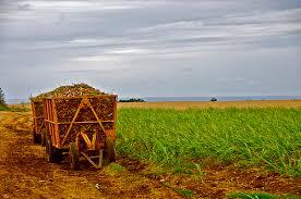 Image result for images of Barbados sugar cane