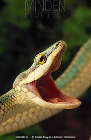snake mouth profile. Brilliant Profile Parrot Snake Leptophis Ahaetulla With Mouth Open In Defense Display  Caatinga Ecosystem Inside Mouth Profile E