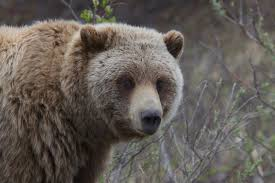 essays on wildlife conservation a trip down memory lane photo  an open letter to obama about grizzly bears adventure journal essays wildlife conservation