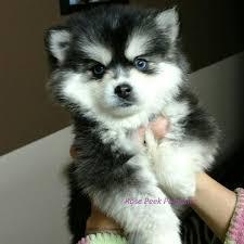 Pomsky 50 Husky 50 Pomeranian Puppies For Sale