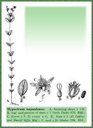 Guttiferae in Flora of Pakistan @ efloras.org