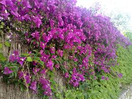 hedge plants in india for live fencing