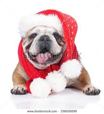 Christmas Bulldog Stock Images, Royalty-Free Images & Vectors ...