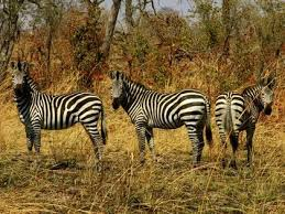 wild animals in african jungle. Wonderful African Wild Animals In African Jungle  Zebras For Wild Animals In African Jungle R