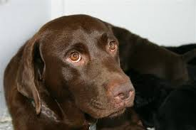 chocolate lab with blue eyes. With Chocolate Lab Blue Eyes