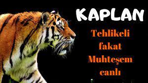 Dünyanın En Tehlikeli ama Muhteşem Hayvanı: KAPLAN (Darıca Hayvanat  Bahçesi) - YouTube