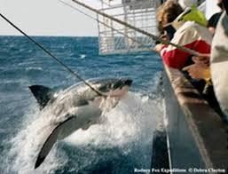 great white shark attacks boat. Fine Shark Great White Shark Attacks Boat For K