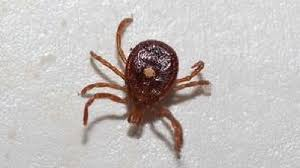Lone Star Tick causing meat allergies in central Virginia   WJLA