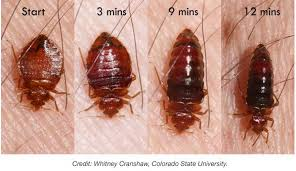 bed bug abdomens greatly extend during feeding and it takes time to digest the blood meal bed sizes b86 bug