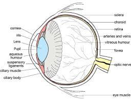 lebeled diagram of human eye repin image eye eye diagram human jpg lebeled diagram of human eye repin image eye eye diagram human jpg 1151 x 889