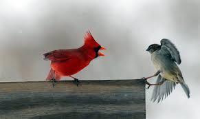 winter cardinal wallpaper. Wonderful Winter Northern Cardinal Birds HD Wallpapers   With Winter Wallpaper I
