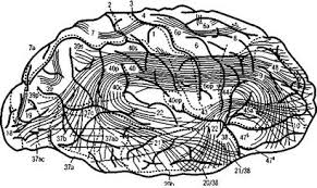 Реферат Тема Структурно функциональная модель интегративной  Эта модель предложенная А Р Лурия 1970 1973 характеризует наиболее общие закономерности работы мозга как единого целого и является основой для