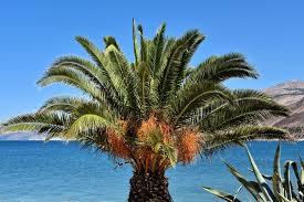 Palm Tree With Orange Fruit In Argostoli Greece  Encircle PhotosPalm Tree Orange Fruit