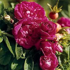 hansa rugosa rose view full image